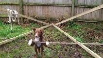 Bu köpek başka bir köpek! Tam bir denge ustası!