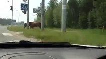 CAR CRASH - MARCH - April 2013 - Pedestrian Horse Follows the Rules