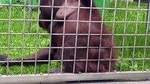 20140918 Orangutans Baby LINA: オランウータンの赤ちゃん「りな」