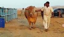 Cow Qurbani 2016 Sohrab Goth Karachi Bakra Eid in Pakistan