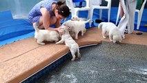 Funny Animals-Eight English Cream Golden Retriever Puppies - first swim & jump!