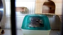 Cute and Funny chinchilla videosChinchilla dust bath funnyСhinchilla new