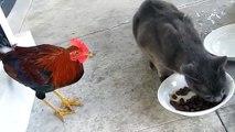 Петух против кошки