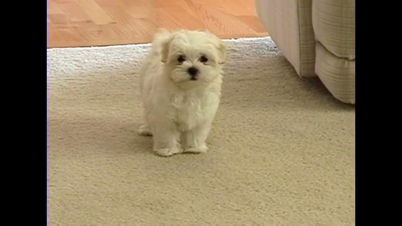 Cute tiny Maltese puppy barking at funny toy camera small dog puppies bark playing