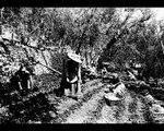 Témoignage partie 3 –  Henriette et Marcel Fiancette, la production des plantes à parfum à La Colle-sur-Loup  – Corpus '