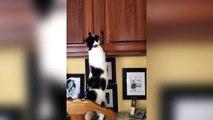 Un chat affamé va chercher les croquettes dans le placard!