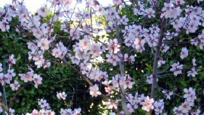 Les fleurs d'amandier sont annonciatrices du printemps.