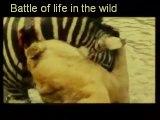 Vidéos surpris tout le monde: lionel rzèbre noie un lion, un zèbre noie un lion,lion attaque, lion vs rzèbre, lion attaque rzèbre, lion attaque chasseur, a lion roaring, lion bad, lion contre rzèbre, lion d'afrique, lion roi,