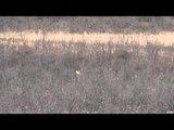 Predator Quest  - Calling Coyotes in a Good Bedding Area
