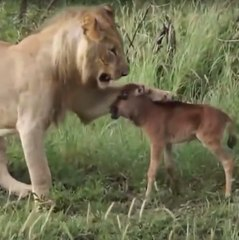 A lioness saves a baby gnu