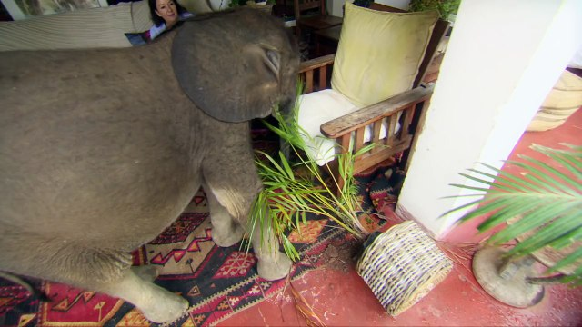 Baby elephant causes havoc at home - Natures Miracle Orphans: Series 2 Episode 1 Preview - BBC On