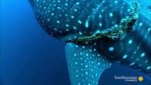 Un plongeur sauve un requin-baleine piégé dans un filet. Belle coopération Humain-animal