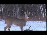 White-tail Deer Bowhunting