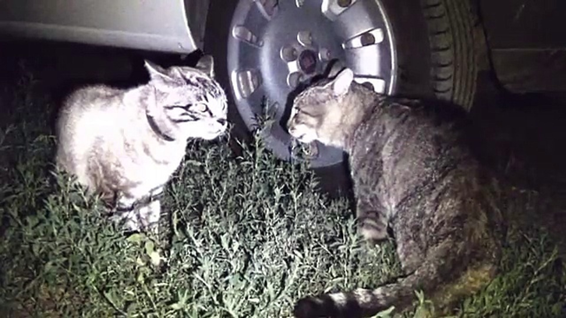 CATS fighting cats talking