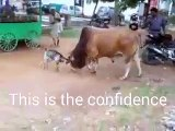 WOW! You Can't Believe What Happened To This Poor Cow