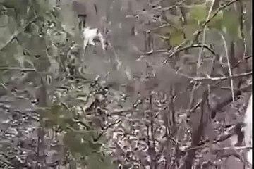 Pitbull vs wild boar. Hunting for wild boar with dogs -