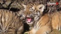 Le Parc des félins : découvrez les nouveaux bébés tigres et le lionceau