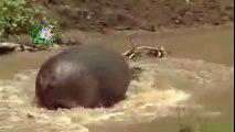 Lion vs Hippo. Crocodile vs Hippo. Anaconda eats Hippo fight giant crocodile.Lion hunting hippo