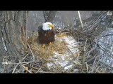 DECORAH EAGLES 2/8/2016  11:45 AM  CST  DAD WITH HAY AND MOM WITH LONG STICK