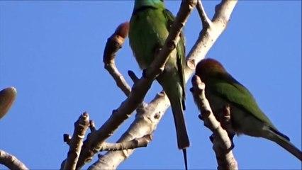 Bee Catcher Bird - Meropidae