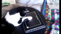 funny videos - funny cat videos , funny cat compilation , funny cats , funny cat videos 2016 , funny animals , funny , funny videos , funny cat videos ever , ultimate cats compilation , try not to laugh , funny pets , cat funny videos  - funny clips 2016