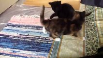 funny videos - funny cat videos , funny cat compilation , funny cats , funny cat videos 2016 , funny kitten , funny , funny videos , funny cat videos ever , ultimate cats compilation , try not to laugh , funny pets , cat funny videos  - funny clips 2016
