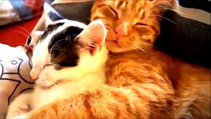 funny videos funny cat videos funny cat compilation funny cats funny cat videos 2016 funny kitten funny funny videos funny cat videos ever ultimate cats compilation try not to laugh funny pets cat funny videos funny clips 2016
