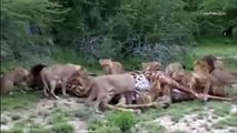 Dangerous | Nature Documentary | Animal Attack | Tiger Attack | Lions Vs Giraffe | African
