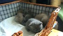 Симпатичные британские котята Такая прелесть!