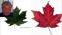 Разница между Канадским и Норвежским клёном