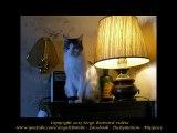 N°196 Le chat Blocus en vacances chez moi écoute le cha cha cha