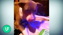 Best Vines Funny Pitbull Compilation [Must See] HD 2015