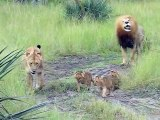 Cute Lions Babies learn to roar like their Lion Father!