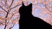 桜の木と猫〜猫のお花見 Cherry blossom tree and Cat. Cat cherry blossom viewing