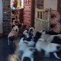 Theres somebody at the door! ️ #pugsofVine #dog #pug #japanesechin #dogsofvine #funny #