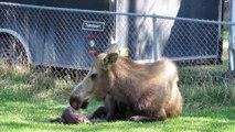 Il filme cette maman orignal qui lave son bébé naissant, mais regardez qui apparaît derrière elle!
