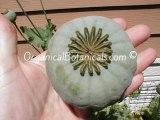 (#1/5) How to Grow Poppies in 5 Stages from Poppy Seed Pod to Flowers - Papaver Somniferum