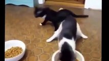 Funny Cat Fails Try not to Laugh 2016 - Best Funny Cats videos compilation try not to laugh 2016