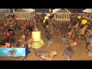 Độc: Mô hình chăn nuôi gà trên sàn   HDTV