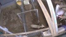 L'abattoir Bio du Vigan en France et ses atrocités envers les animaux
