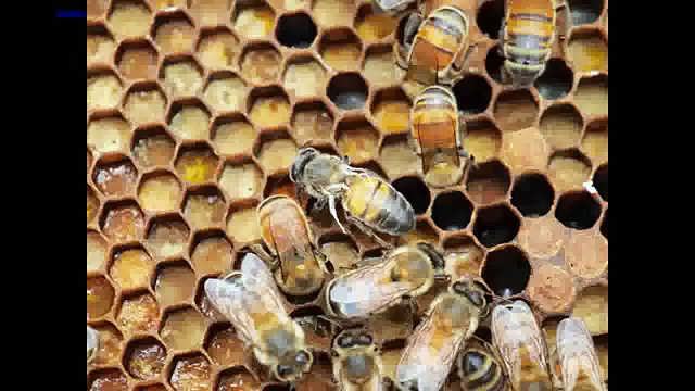 European Honeybee Virus: European Honeybee Under Threat from Virus Spread by Humans (News World)