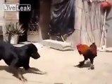 Петух против собаки (Rooster vs Dog)
