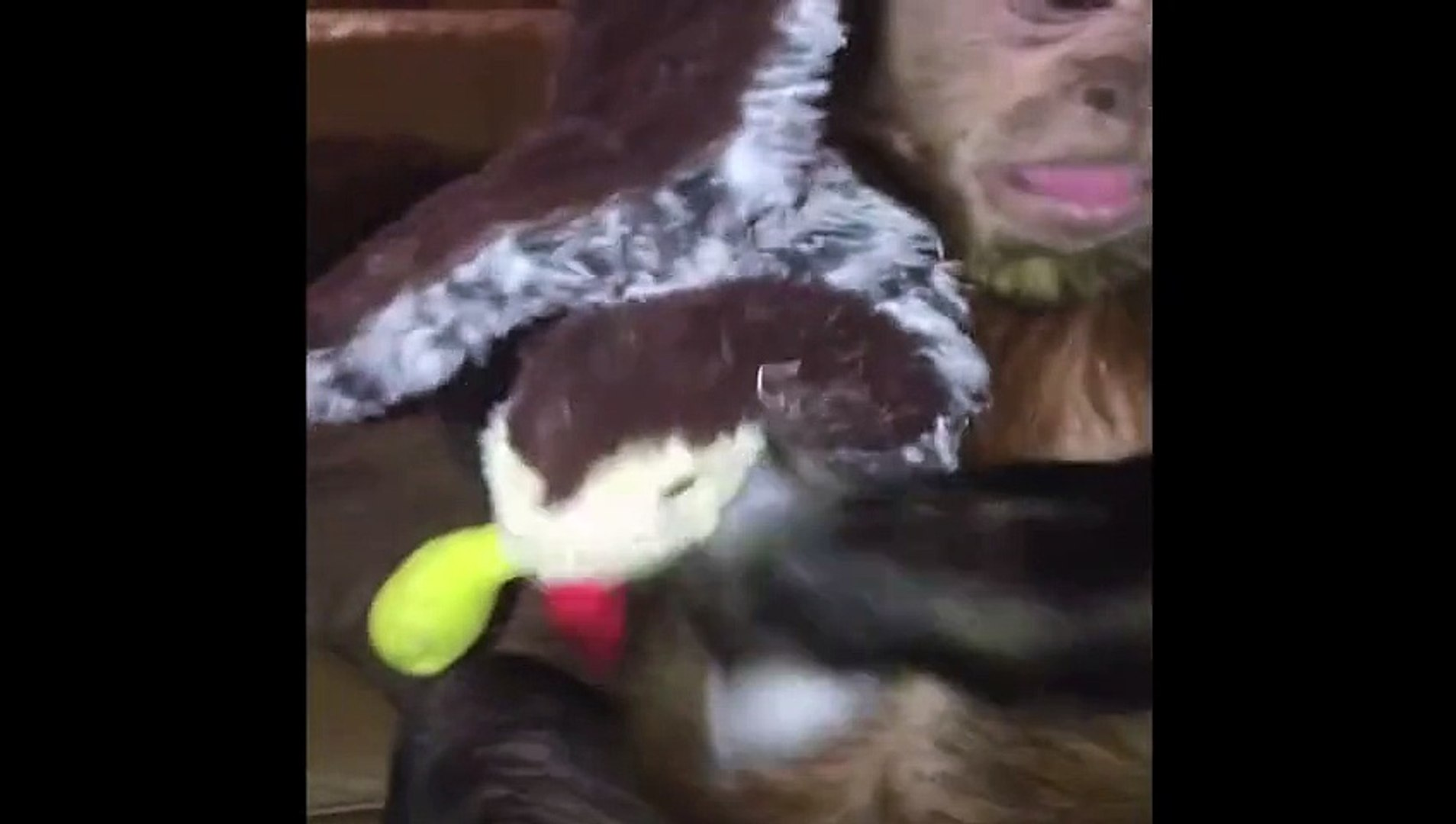 Ugly Monkey Loves His Stuffed Turkey - America's Funniest Home Videos