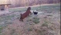 Ha ha Ha Angry Goat VS  Funny Cat-Top Funny Videos-Top Prank Videos-Top Vines Videos-Viral Video-Funny Fails