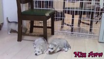 Siberian Husky Puppies Playing,Barking And Sleeping (1)