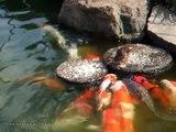 прикол Утенок кормит рыбу  Baby duck feed the fish юмор и развлечения