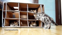 Funny Cats - Cute Kittens vs. Handmade Fort