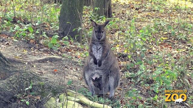 Adorable Wallaby Joeys at Brookfield Zoo