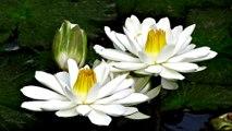 1 HOUR of Relaxing Zen Meditation Music  Calming White Lotus, Peaceful, Gentle, Serene