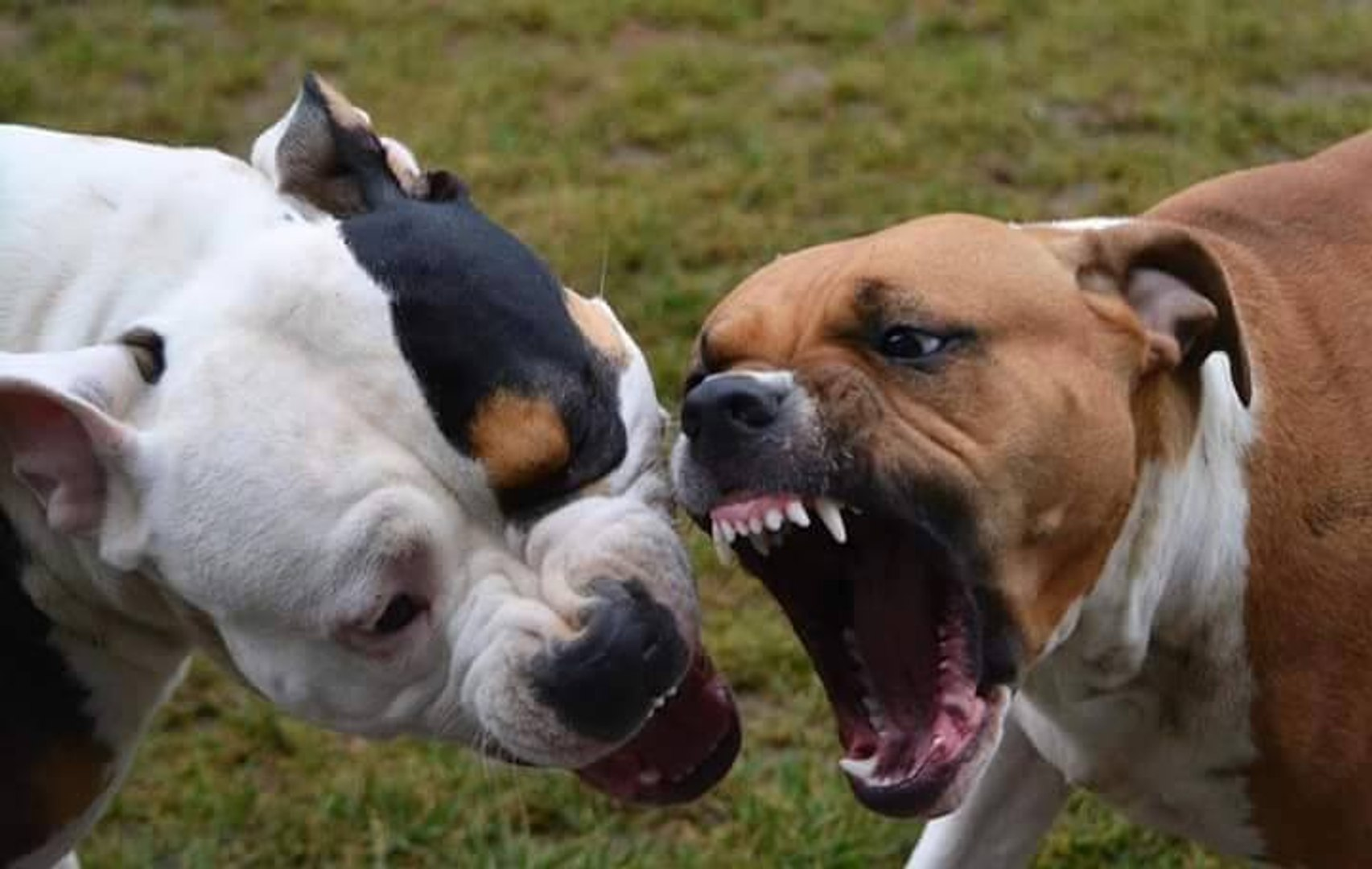 Pitbull vs Amstaff FACTS